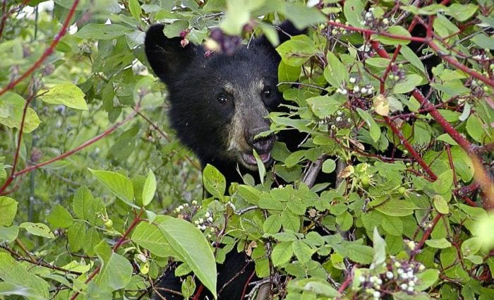 Black bear spotted in Selkirk: DEC indicates trash, bird food attract them to residential areas