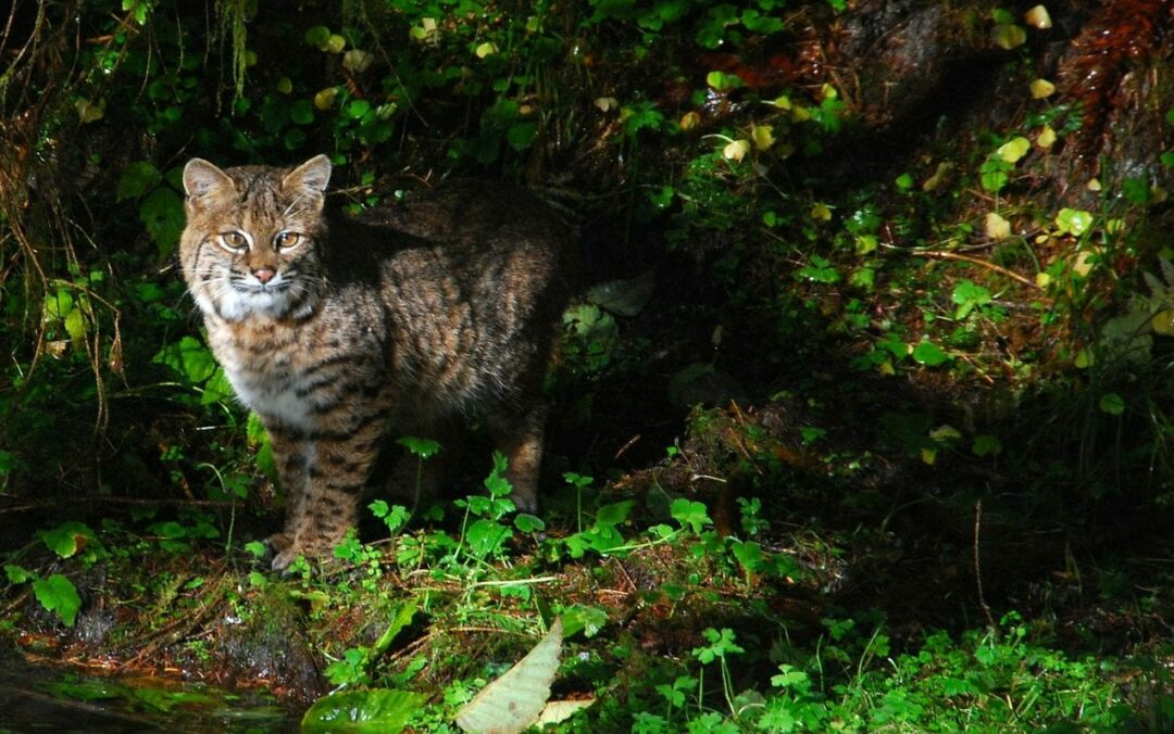 New Scotland couple attacked by rabid bobcat