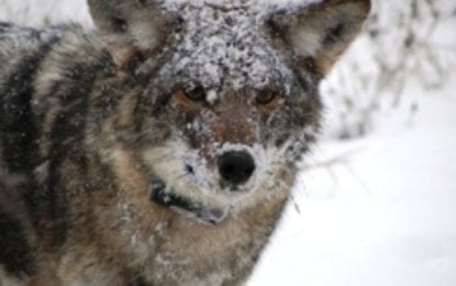 Wandering coyote not deemed a threat by law enforcement
