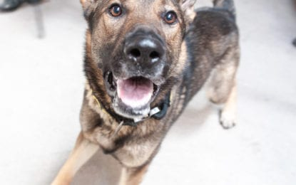 A nose that knows: Albany County Sheriff restarts K9 unit (w/photo gallery)