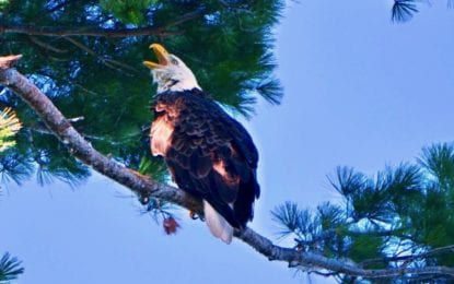 DEC: Bald eagle is thriving in New York