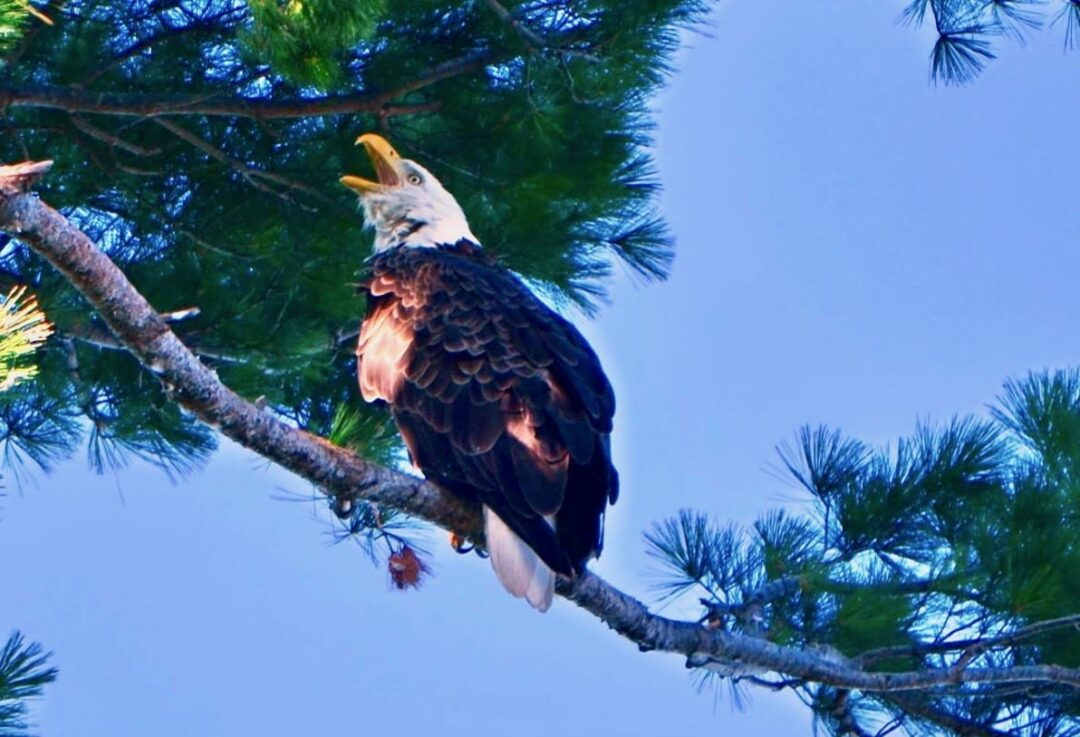 DEC: Bald eagle breeding levels set new record