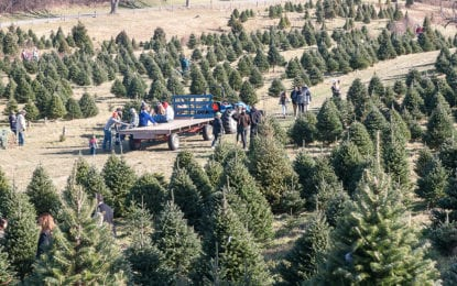 Shortage of Christmas trees in Pacific Northwest not having much impact in Capital District