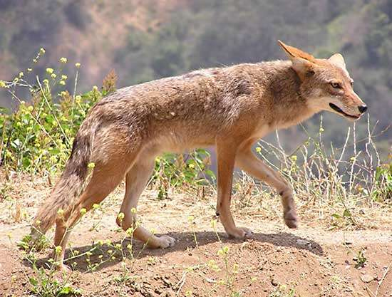 Albany County is looking for person who dropped coyote's body at the vets