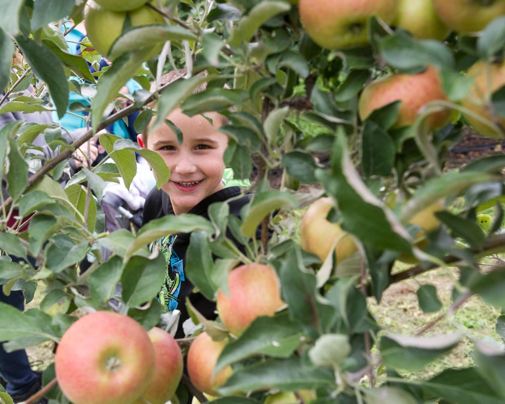Apple orchards are open for the picking (w/photo gallery of Indian Ladder and Altamont Orchards0
