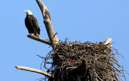 "DEC proposes to remove bald eagle from ""threatened"" list"