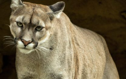 Bethlehem residents spot bobcats, mountain lion in area